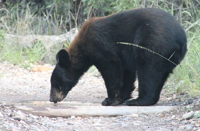 Increased Black Bear activity observed in Trans-Pecos Region